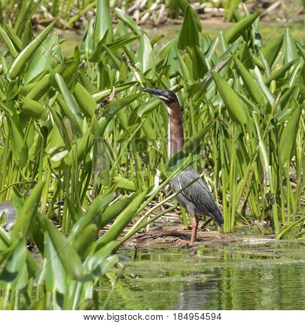 A Green Heron  (Butorides virescens), a wading bird, standing among water plants in a search for food.