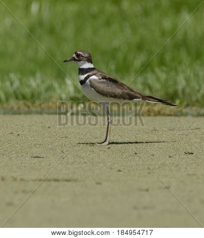 A Kildeer (Charadrius vociferus) a shorebird, is found throughout the Western hemisphere.