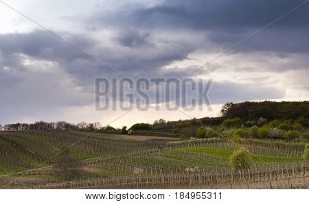The spring landscape with vineyards in the evening.