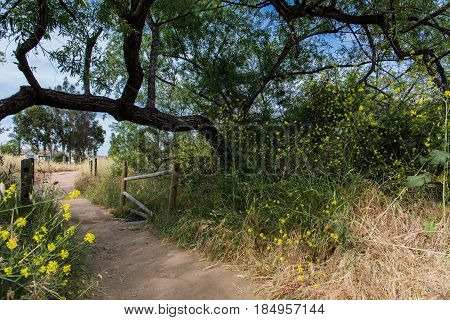 Angled tree growing over fenced trail lined with yellow flowers