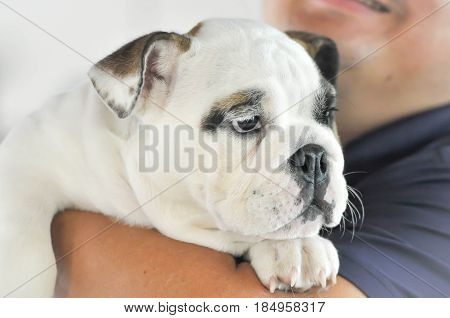 young bulldog and a man , bulldog