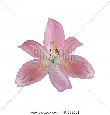 vector illustration of an isolated pink lily flower with structured petals in details