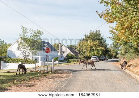 GREYTON SOUTH AFRICA - MARCH 27 2017: A street scene with houses and donkeys in Greyton a small town in the Western Cape Province of South Africa