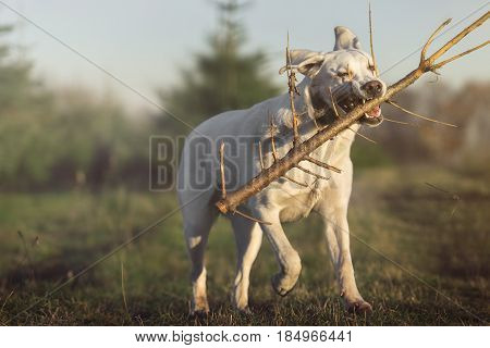 white labrador retriever dog runs on a meadow with stick in mouth