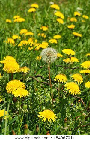 Dandelion (Taraxacum officinale) flowers in the meadow spring. A dandelion flower head composed of hundreds of smaller florets and seed head