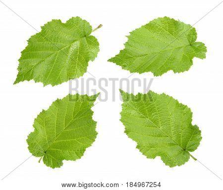 Hazelnut leaves (Corylus americana) isolated without shadow