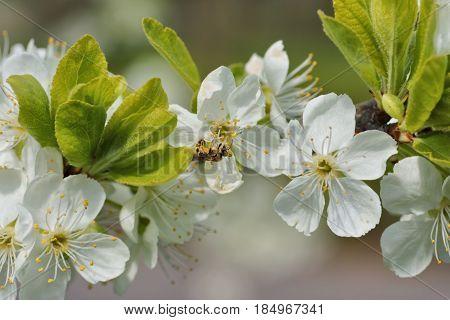 Spring Honeybee (Apis mellifera) on the flourishing fruit tree as background