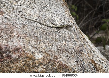 Small lizard basking on the sun on a stone