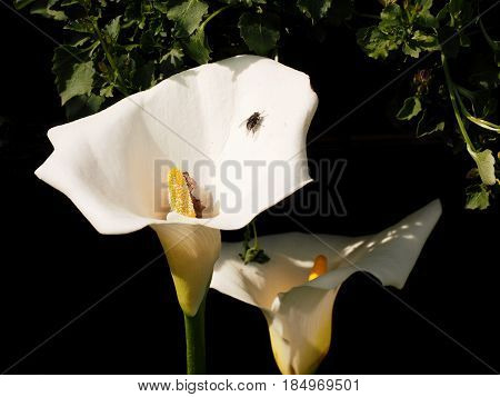 A fly lays on the white flower of a calla