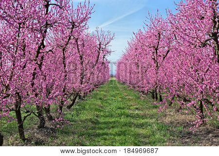 spring in the countryside with blooming peach tree - trees with pink flowers in Italian orchard
