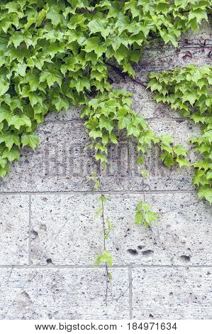 Ivy or Hedera creeping on stone wall