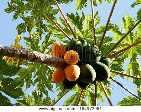 Fruits on Papaya tree in Or Yehuda Israel