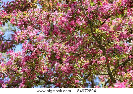 Spring flowering apple tree closeup in a city garden on a sunny afternoon