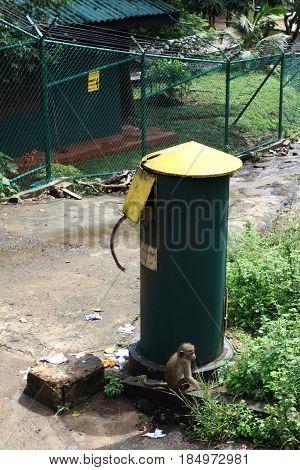 Toque macaque Macaca sinica looting in rubbish bin.