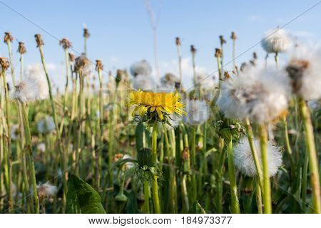 Summer wildflowers. One blossomed yellow dandelion among  many white dandelions in a meadow.