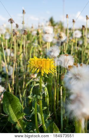 Summer wildflowers. One yellow dandelion among  many white dandelions in a meadow.