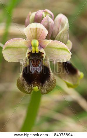 Wild Sawfly Orchid Flower Closeup - Ophrys Tenthredinifera