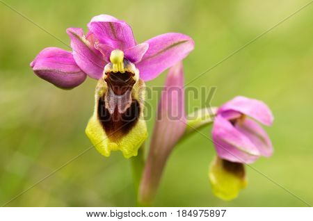 Wild Sawfly Orchid Flowers Closeup - Ophrys Tenthredinifera Subps. Guimaraesii