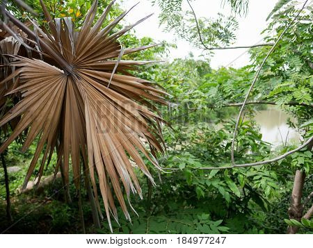Dried palm leaves among the green leaf trees.