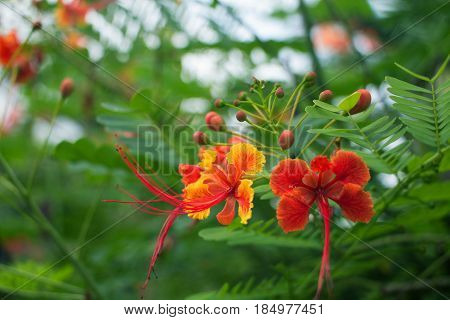 Red tropical asian flower Caesalpinia pulcherrima in Thailand