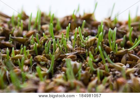 Grass sprouts macro shoot. Selective focus. Wheatgrass sprouted in a plastic box on a white background.