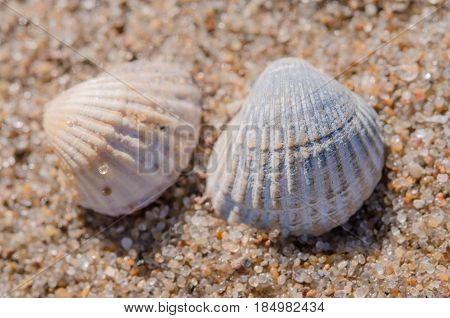 Two rounded sea shell lying on the sandy beach.
