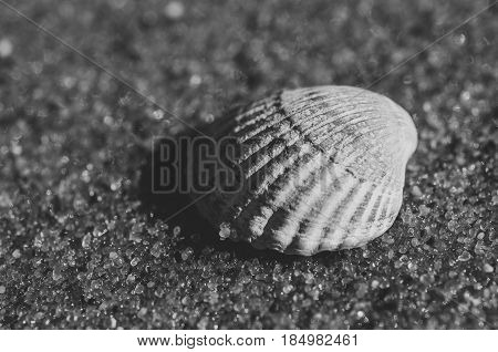 Beautiful rounded sea shell lying on the sandy beach. Black and white