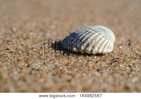 Beautiful rounded sea shell lying on the sandy beach.