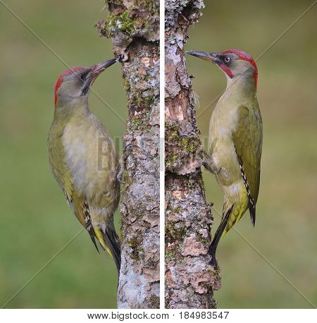 Pair of european green woodpecker perched on a branch.