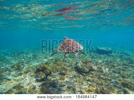 Tortoise in blue water. Olive green turtle underwater photo. Sea animal in coral reef. Coral reef ecosystem with plants and animals. Tropical island vacation activity. Snorkeling in tropic seashore