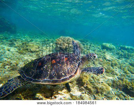 Sea turtle in nature closeup. Olive green turtle underwater photo. Sea animal in corals. Coral reef ecosystem with plants and animals. Tropical island vacation activity. Snorkeling in tropic seashore