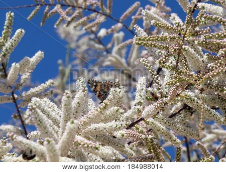 Blooming tamarix and butterfly against the blue sky
