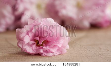 Pink Kwanzan cherry blossom on a wooden table