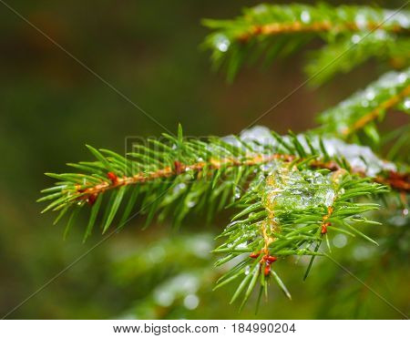 Closeup of spruce with ice with beautiful bokeh isolated towards green