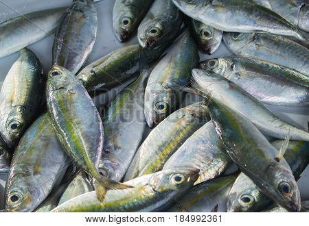 Silver green tropical fish catch on fish market table. Striped coral fish for cook. Edible sea animal. Tasty sea fish restaurant menu photo or recipe banner template. Seaside eatery. Seafood market