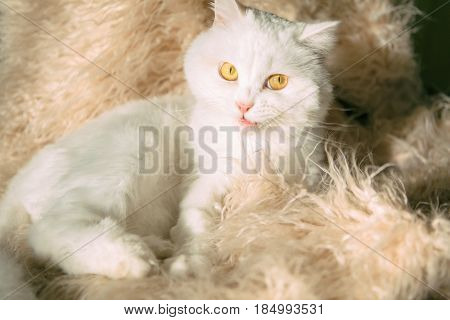 White funny cat Scottish Highland Straight lying on Fluffy blanket