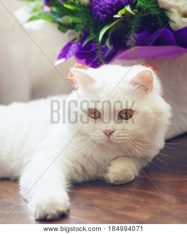 White funny fluffy cat Scottish Highland Straight lying near bouquet flowers