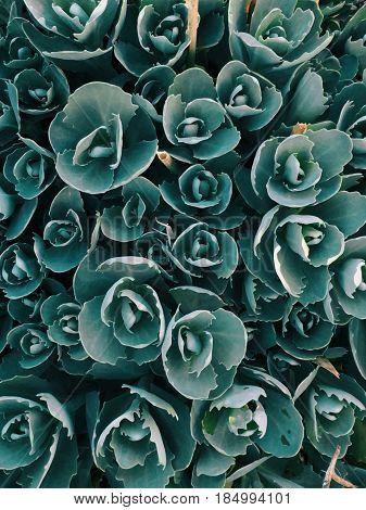 Decorative garden plant Sedum prominent lat. Sedum spectabile . Autumn flowering