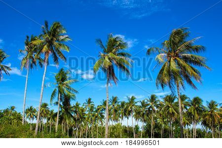 Tropical landscape with coco palm trees. Exotic place view with palm tree silhouettes. Palm tree forest under sunlight. Peaceful paradise image for poster or card. Colorful tropic scene with blue sky