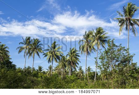 Wild palm tree on tropical island. Bright blue sky background. Summer vacation banner template. Fluffy palm tree with green leaves. Coconut palm under sunlight. Exotic nature holiday postcard view