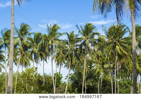 Coconut palm tree on tropical island. Bright blue sky background. Summer vacation banner template. Fluffy palm tree with green leaves. Coconut palm under sunlight. Exotic nature holiday postcard view