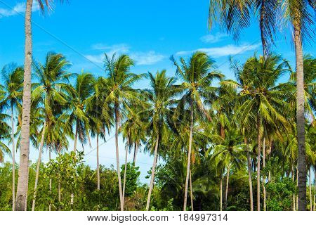 Green palm tree on tropical island. Turquoise blue sky background. Summer vacation banner template. Fluffy palm tree with green leaves. Coconut palm under sunlight. Exotic nature holiday postcard view