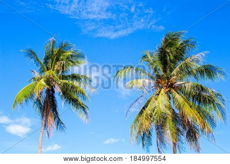 Idyllic palm tree on tropical island. Bright blue sky background. Summer vacation banner template. Fluffy palm tree with green leaves. Coconut palm under sunlight. Exotic nature holiday postcard view