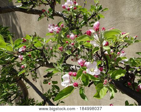 Shades of pink apple blossoms and buds with spring green leaves cover a branch of a mature fruit tree with a stucco wall in the background.