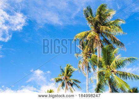Romantic palm tree on tropical island. Bright blue sky background. Summer vacation banner template. Fluffy palm tree with green leaves. Coconut palm under sunlight. Exotic nature holiday postcard view