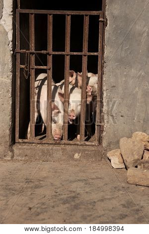 Three pigs sticking out their noses behind bars at a farm in the afternoon china.
