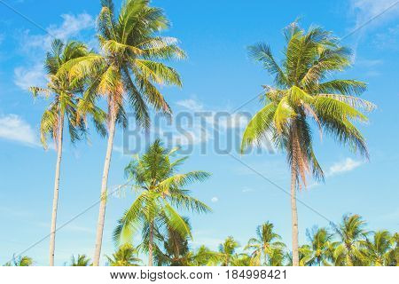 Optimistic palm tree on tropical island. Blue sky background. Summer vacation banner template. Fluffy palm tree with green leaves. Coconut palm under sunlight. Exotic nature holiday postcard view