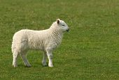 White lamb standing alone in a field in spring. poster