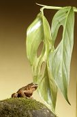 toad frog on stone under leaf tropical amazon rainforest amphibian species background with copy space poster