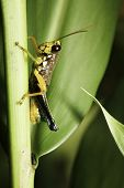 colorful tropical grasshopper sitting on twig in rainforest poster